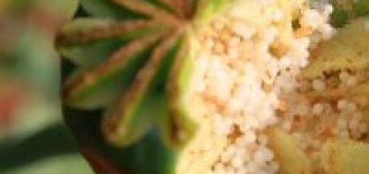 Товароведческий анализ лекарственного растительного сырья
